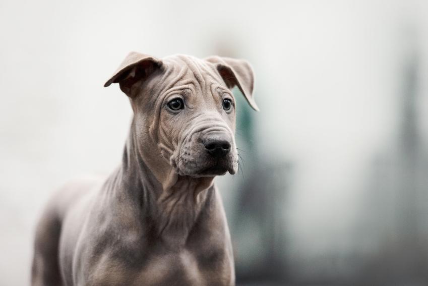 Pies rasy thai ridgeback na łonie natury, a także polecana hodowla i cena thai ridgeback