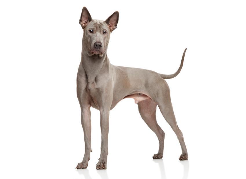 Pies rasy thai ridgeback z profilu na białym tle, a także cena thai ridgeback i hodowla