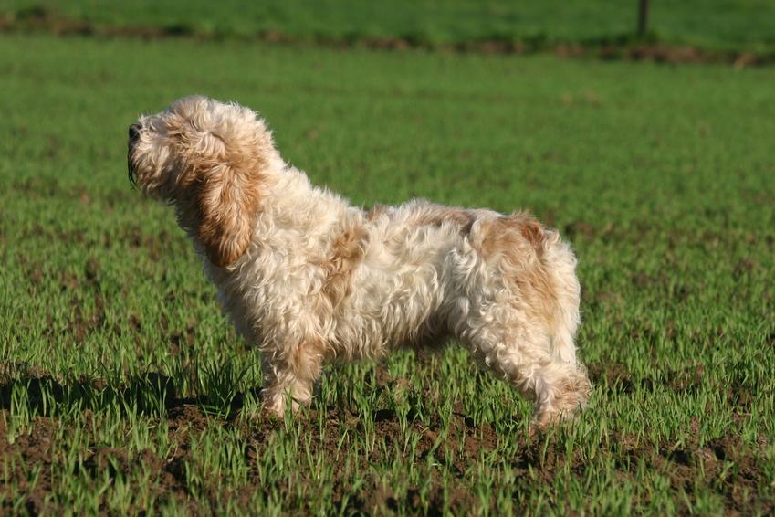 Pies rasy petit basset griffon vendeen na trawniku oraz inne psy gończe i ciekawe rasy psów gończych w Polsce
