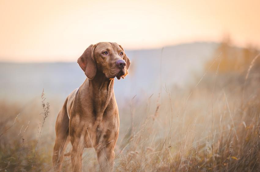 Pies na łonie natury oraz psy gończe i ciekawe rasy psów gończych w Polsce