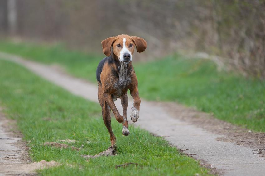 Pies rasy gończy hamiltona biegnący po trawie, a także jego charakter, usposobienie i cena