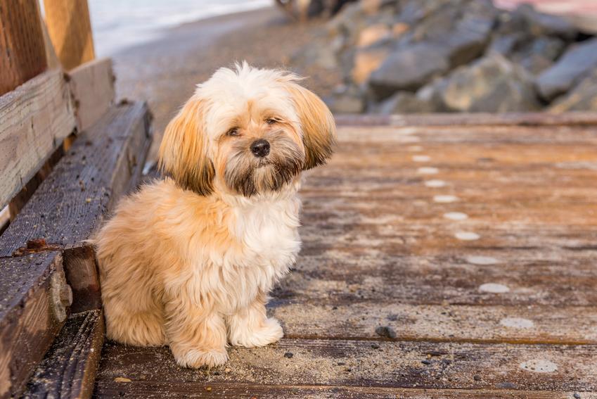 Pies rasy lhasa apso, a także porównanie lhasa apso a shih tzu, podobieństwa i różnice