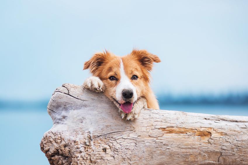 Pies rasy border collie w trakcie spaceru, a także opis, informacje i charakter border collie