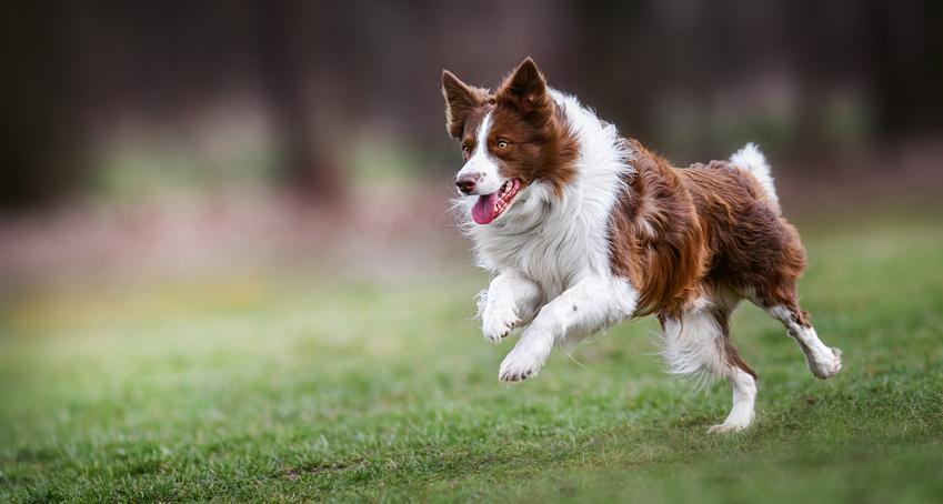 Pies rasy border collie biegający po trawie, a także charakter border collie i opis