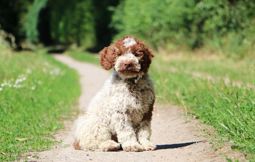 Pies rasy lagotto romagnolo siedzący na ścieżce na trawie, a także jego charakter, usposobienie i cena