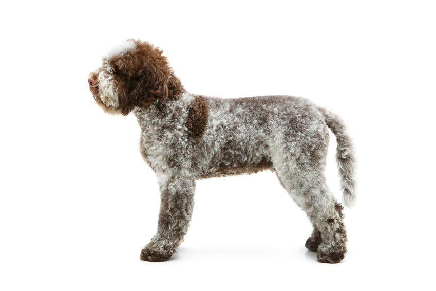 Pies rasy lagotto romagnolo z profilu na białym tle, a także jego charakter i cena