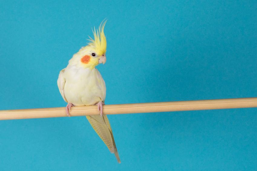 Papużka nimfa na niebieskim tle, a także hodowla i cena papugi nimfy