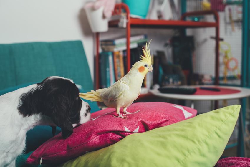 Papużka nimfa z psem w domu, a także cena papugi nimfy i polecana hodowla