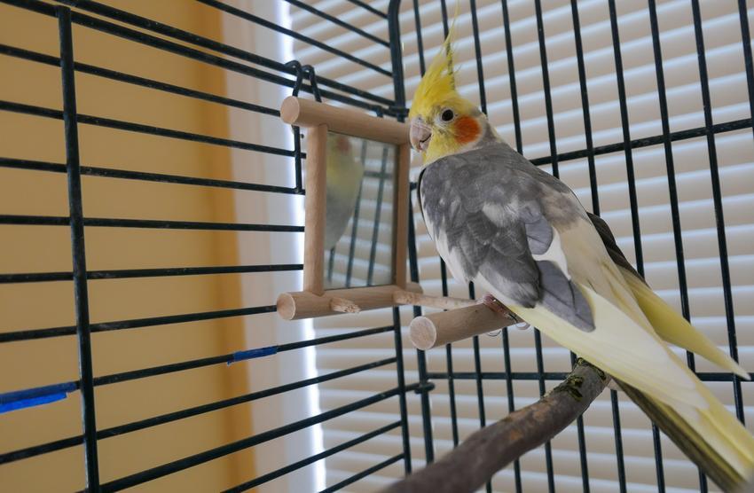 Papuga nimfa w klatce, a także klatki dla papug, ich rodzaje i ceny