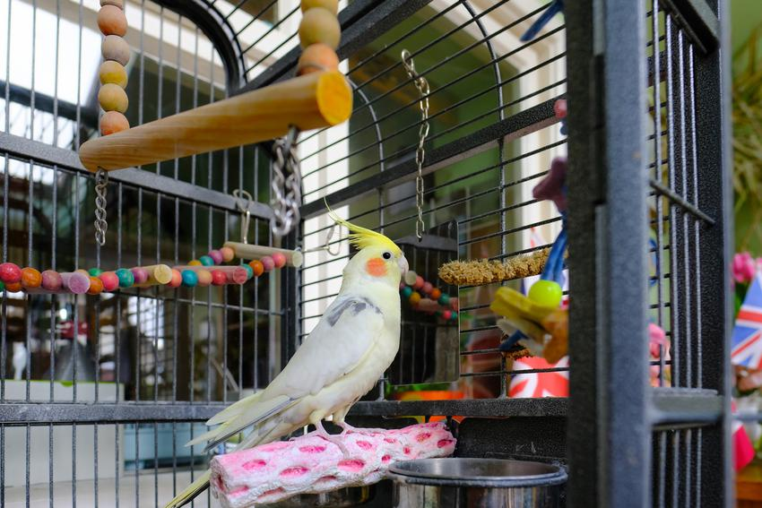 Papuga w dużej klatce, a także polecane klatki dla papug, rodzaje i cena