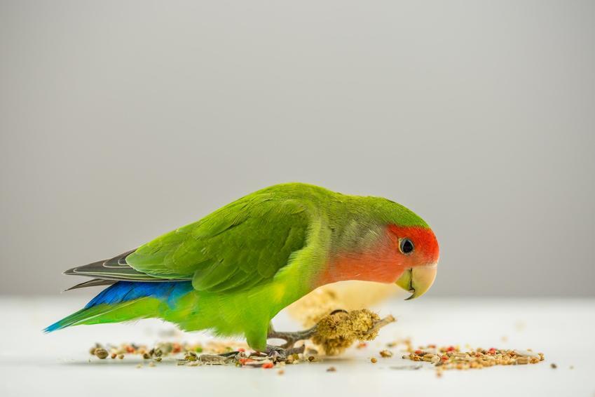 Papuga jedząca pokarm na szarym tle, a także pokarm i karma dla papug