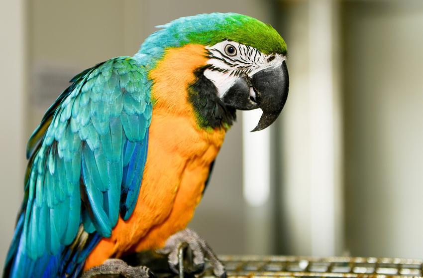 Kolorowa papuga ara, a także domowe ptaki ozdobne, ich hodowla i cena