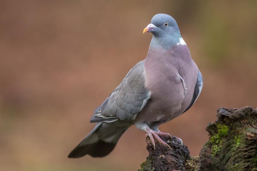 Gołąb grzywacz na łonie natury, a także inne ciekawe gatunki ptaków występujących w Polsce