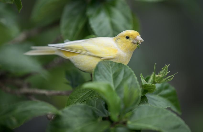 Kanarek na drzewie, a także inne ciekawe gatunki ptaków występujących w Polsce