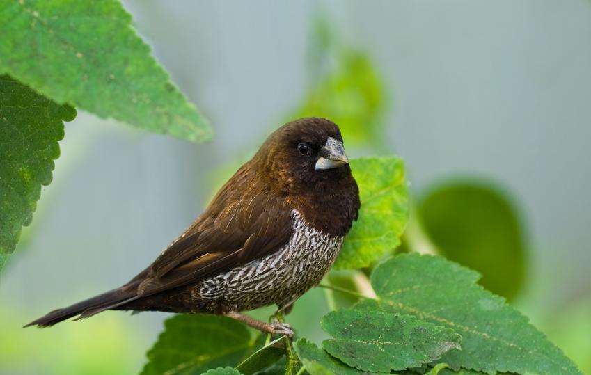 Mewka japońska na tle liści, a także inne ciekawe gatunki ptaków występujących w Polsce