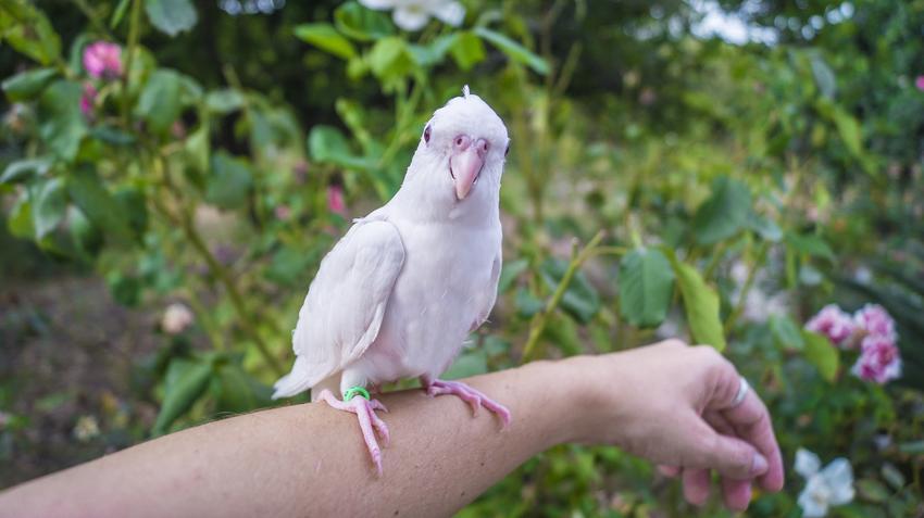 Nimfa białogłowa na ręce, a także inne ciekawe gatunki ptaków występujących w Polsce