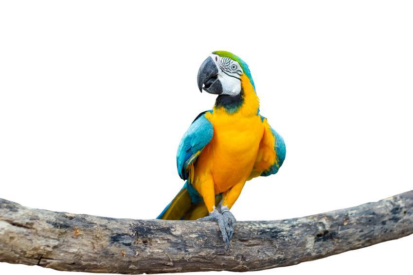 Papuga ara na gałęzi na białym tle, a także inne ciekawe gatunki ptaków występujących w Polsce