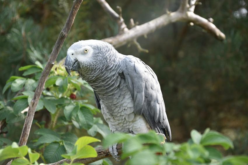 Papuga żako na tle zieleni, a także inne ciekawe gatunki ptaków występujących w Polsce