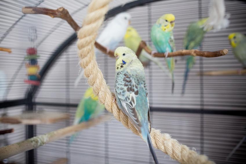 Papużka falista w dużej klatce, a także inne ciekawe gatunki ptaków występujących w Polsce