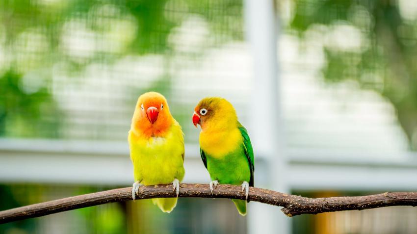 Papużki nierozłączki na gałęzi w klatce, a także inne ciekawe gatunki ptaków występujących w Polsce