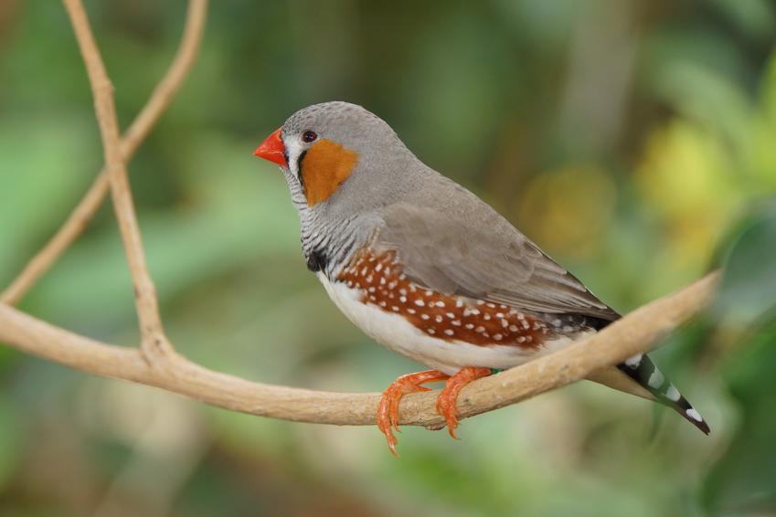 Zeberka zwyczajna na tle zieleni, a także inne ciekawe gatunki ptaków występujących w Polsce