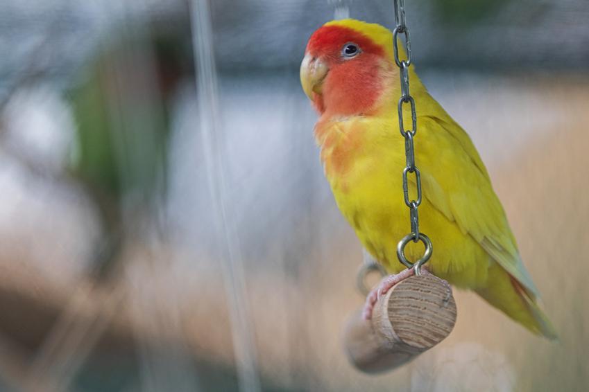 Huśtawka z papugą w klatce, a także zabawki dla ptaków, rodzaje i ciekawostki
