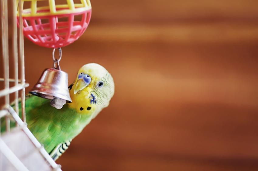 Papuga bawiąca się zabawką z dzwoneczkiem, a także żerdko i inne zabawki dla ptaków