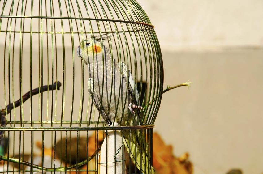 Papuga nimfa w okrągłej klatce, a także polecana klatka dla nimfy i cena