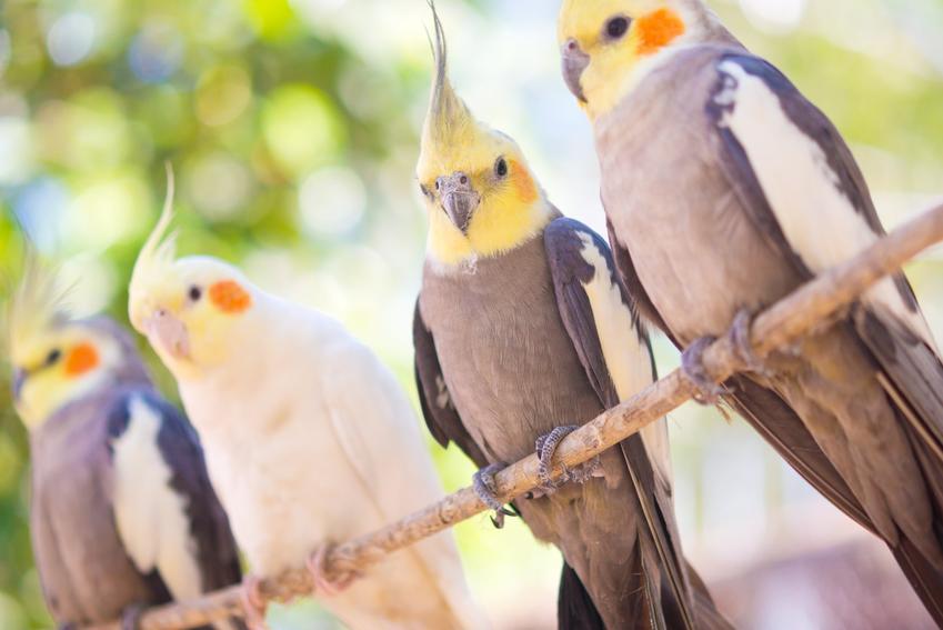 Ptaki papugi nimfy na drążku, a także hodowla papugi nimfy i informacje