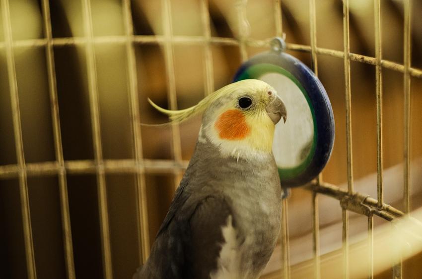 Papuga nimfa w klatce, a także polecana hodowla papugi nimfy i informacje