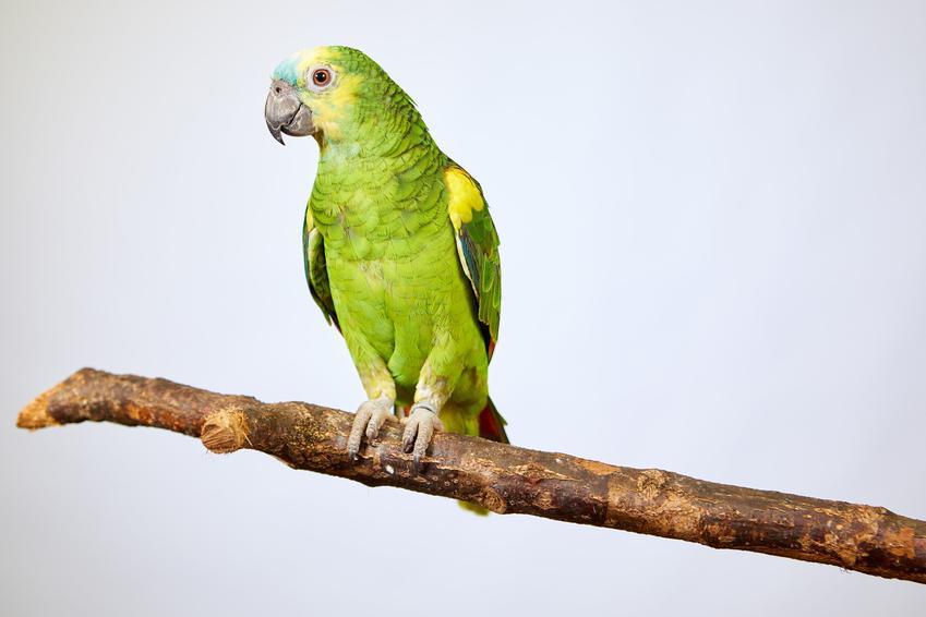 Papuga amazonka na gałęzi na białym tle i inne gadające papugi domowe, ciekawoski i porady