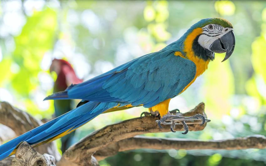 Papuga ara na łonie natury i inne gadające papugi domowe, ciekawoski i porady