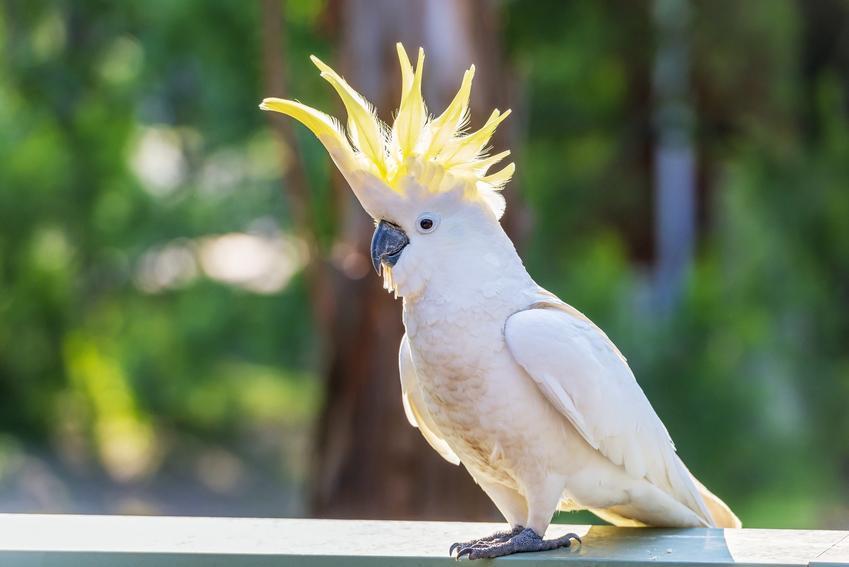Papuga kakadu na tle zieleni i inne gadające papugi domowe, ciekawoski i porady