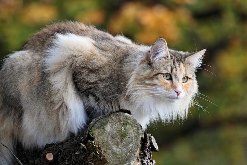Kot norweski leśny siedzący na drzewie, a także charakter norweskiego kota leśnego
