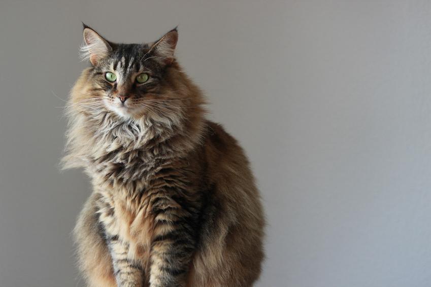 Kot leśny norweski na szarym tle ściany oraz charakter norweskiego kota leśnego
