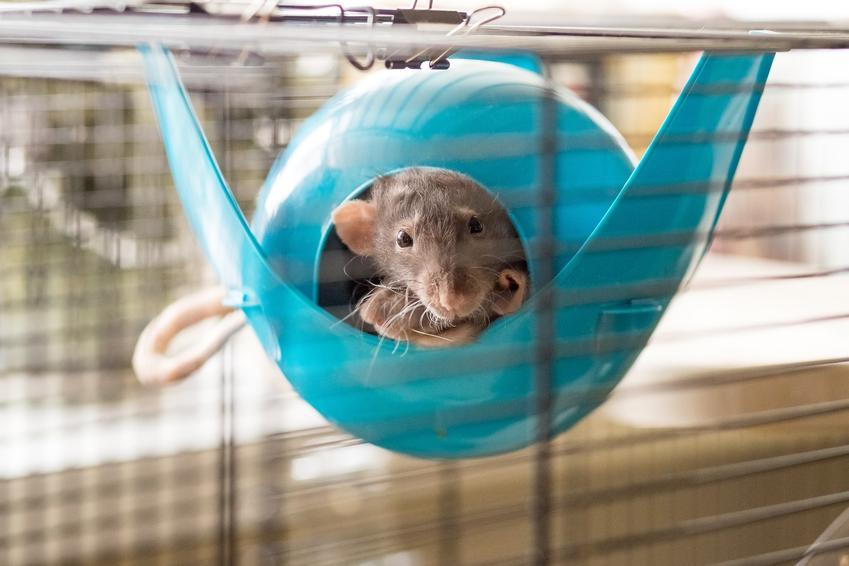 Szczur w klatce w hamaku, a także inne gadżety i zabawki dla szczura