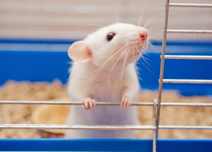 Bialy szczur domowy wyglądający z klatki, a także hodowla i cena szczura domowego