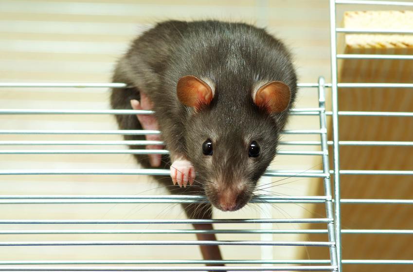 Czarny szczur domowy wychodzący z klatki oraz cena szczura domowego i hodowla szczurów