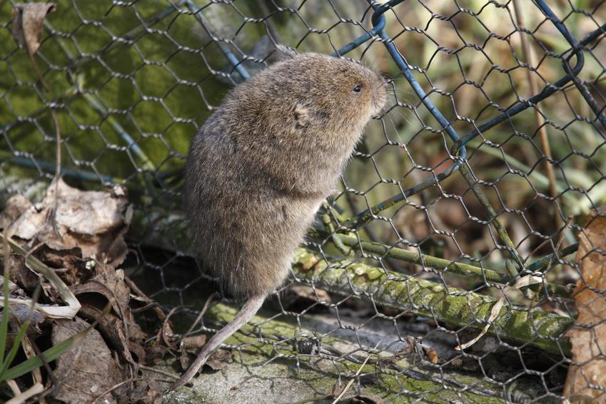 Szczur wodny, czyli karczownik na tle zieleni, a także informacje, opis i zwalczanie