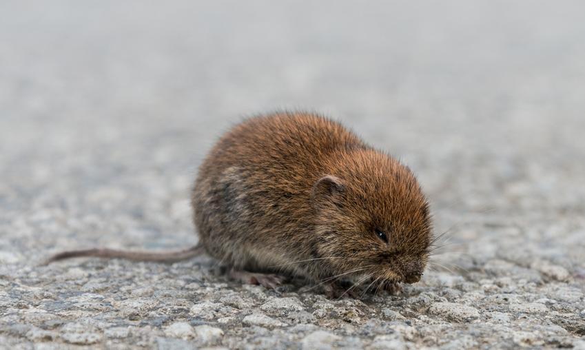 Gryzoń szczur wodny lub karczownik na łonie natury, a także porady i zwalczanie w ogrodzie