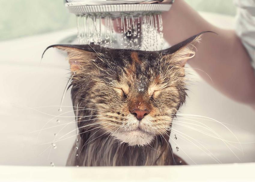 Kąpanie kota pod bieżącą wodą z szamponem dla kota oraz pielęgnacja sierści kota.