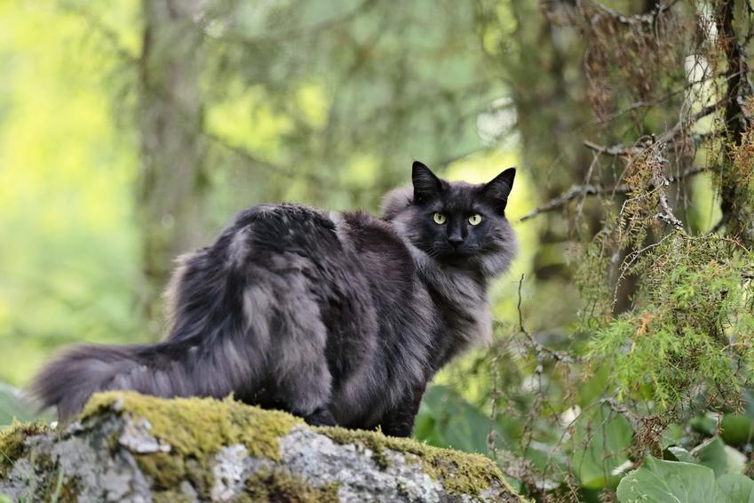 Czarny leśny kot norweski w lesie na tle zieleni oraz jego usposobienie i opis
