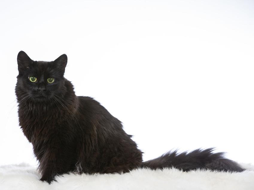 Czarny leśny kot norweski na białym tle oraz jego wychowanie i charakter