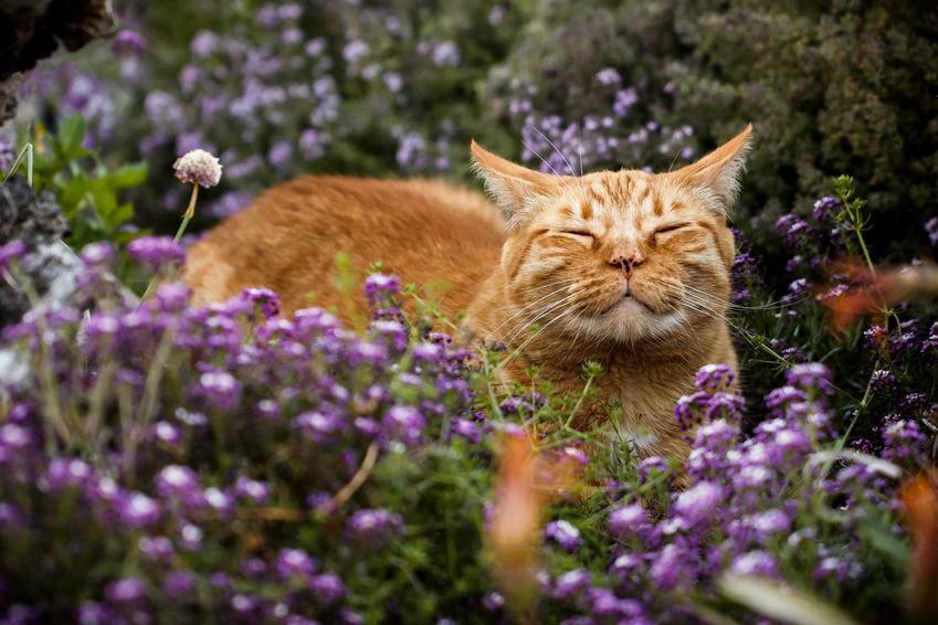 Feromony dla kota są zarówno naturalne, jak i syntetyczne. Kot wśród kocimiętki.