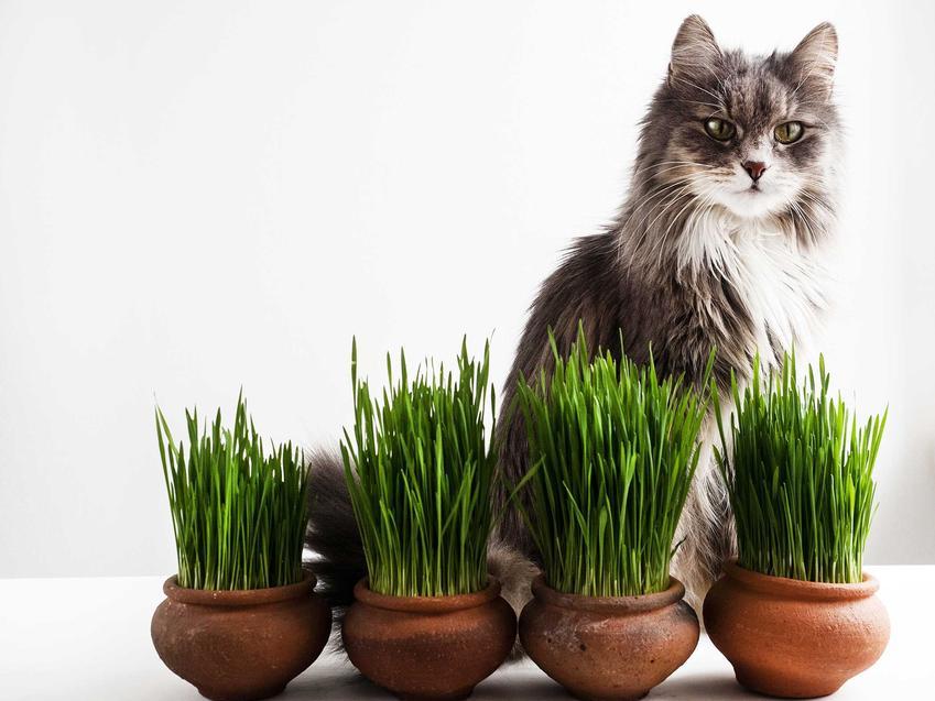 Trawa dla kota w doniczkach uprawiana w domu, a obok kot siedzący na parapecie.