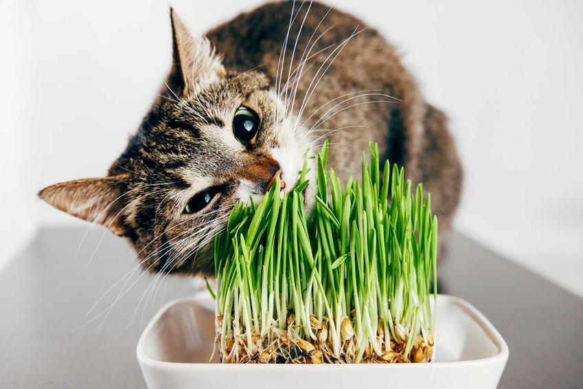 Kot lubi jeść trawę, specjalne rodzaje trawy dla kota są dla nich szczególnie atrakcyjne i smaczne.