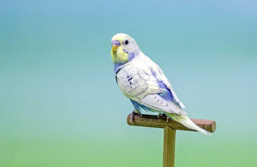 Papuga falista na drążku na tle nieba i zieleni o niebieskich i białych piórkach.