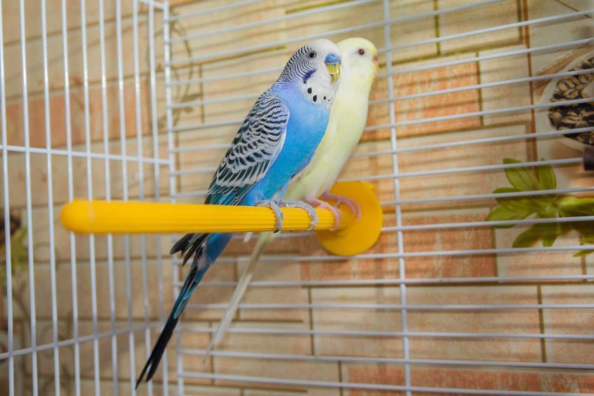 Papugi faliste w klatce na drążku. Cena papug falistych w sklepie zoologicznym