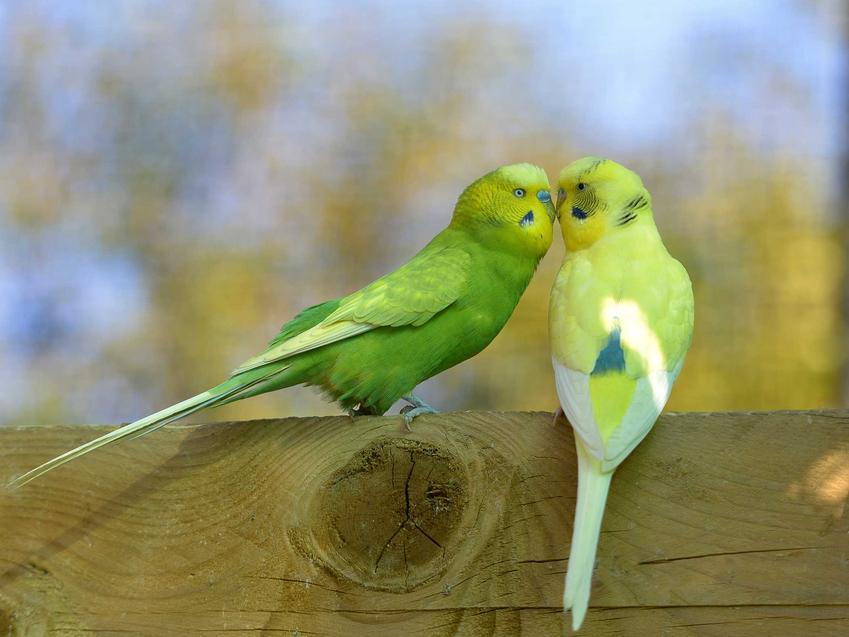 Dwie papużki faliste o żółtym i zielonym upierzeniu siedzące na pniu.