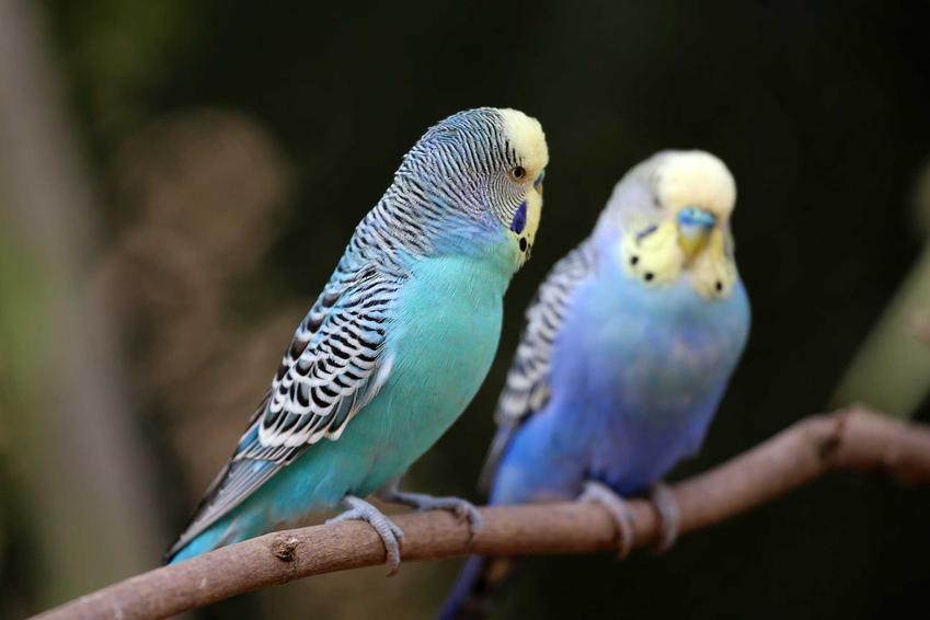 Rozmnażanie papugi falistej o niebieskich piórach zaczyna się od dobrania pary do lęgu
